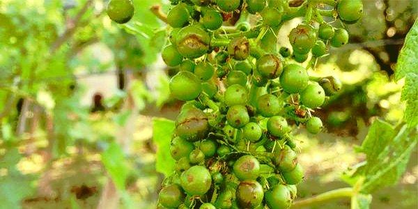 Uva danneggiata dalla grandine nella zona di Gambellara