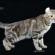 Un gatto con le orecchie all'indietro è la mascotte della Expo Felina di Bassano