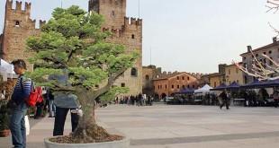 bonsai-marostica