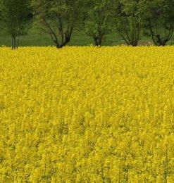 Anche la colza viene usata per produrre biocarburante