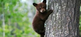 Sta aumentando il numero di orsi presenti sulle nostre montagne