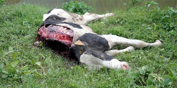 Altopiano di asiago l orso colpisce ancora uccise due mucche for Rustici in vendita altopiano di asiago