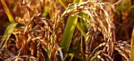 Piante di riso giunte a maturazione - Foto Alessandro Vecchi (CC BY-SA 3.0)
