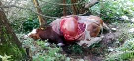 La vacca gravida uccisa dall'orso in uma malga di Enego