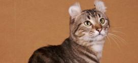 Un gatto di razza American Curl, con le sue insolite orecchie