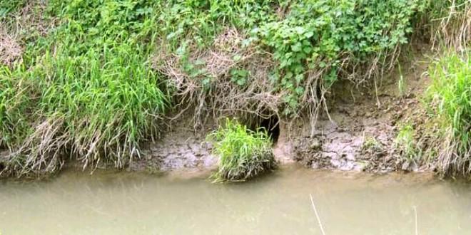 Una tana di nutrie sul canale Bisatto, ad Albettone