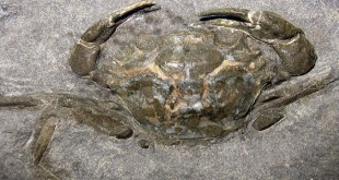 "Fossile di ""Megokkos alaskanensis"", animale vissuto nel tardo Eocene - Foto: Kevmin (CC BY-SA 3.0)"
