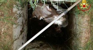 L'asino salvato dai vigili del fuoco, dentro il pozzetto...