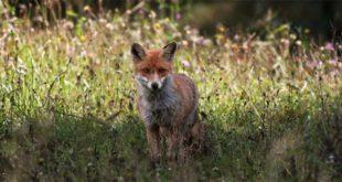 Una volpe, fotografata nel territorio dell'Alpago (Foto di Italo Candoni, tratta dal sito http://bur.regione.veneto.it)