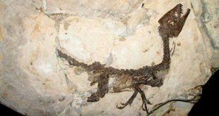 Il fossile Scipionyx samniticus. Milano, Museo storia naturale - Foto di Giovanni Dall'Orto