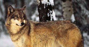Il lupo ama vivere da lupo, senza radio collari