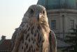 Piccioni, Thiene prova ad allontanarli con un falco