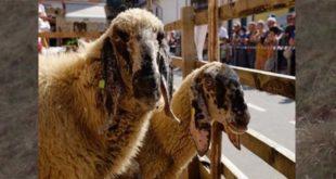 Pecore di razza Foza (Foto tratta dal sito www.asiago.it)