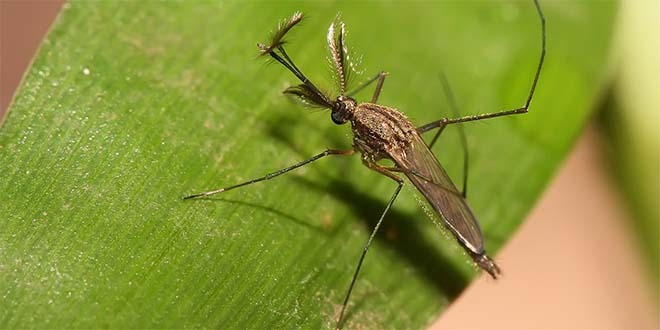 Un zanzara del genere Culex - Foto di Muhammad Mahdi Karim (GFDL 1.2)