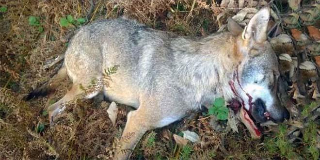 La foto, postata dalla Lav, del lupo ucciso in Lessinia da un cacciatore...