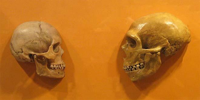 Cranio di Homo Sapiens (a sinistra) a confronto con cranio di Neanderthal - Cleveland Museum of Natural History (CC BY-SA 2.0)