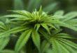 """Cannabis, Coldiretti: """"Non mandiamo tutto in fumo"""""""