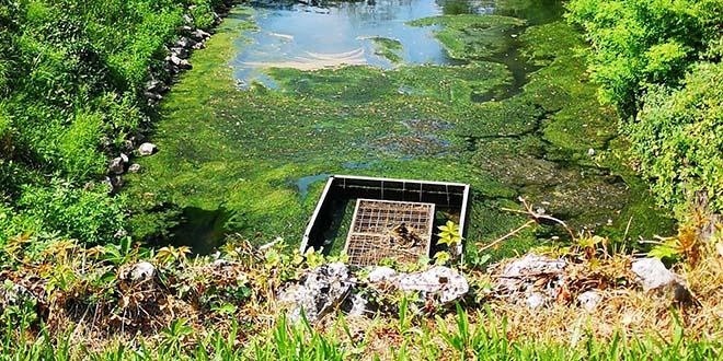 Che fare per l'alga assassina alla roggia Seriola?
