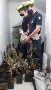 Marijuana in serra