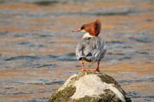 Rari uccelli acquatici nel fiume Brenta