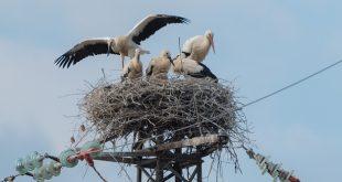 Dal nido sicuro di Cartigliano 4 baby cicognini