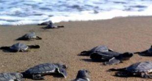 Delta del Po: schiuse le prime uova di tartaruga marina Caretta caretta