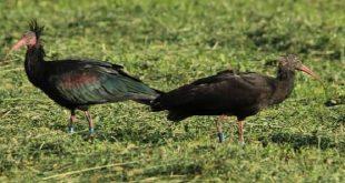 Ibis eremita nell'Alto Vicentino