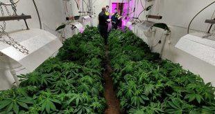 Zanè: capannone con coltivazione di Marijuana